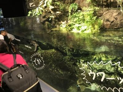 京都水族館のオオサンショウウオ水槽