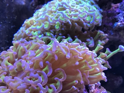 揺らぐナガレハナサンゴ