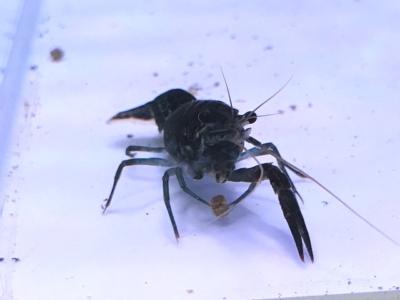 隻腕の黒いアメリカザリガニ(シャドースペクター)
