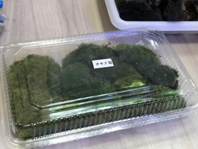 オキナ苔のコケアソート