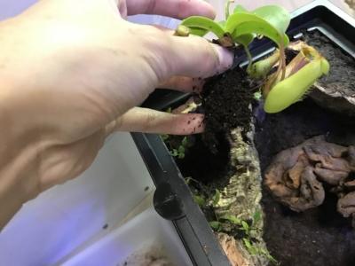 ウツボカズラ植栽