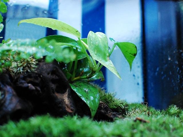 イモリのための苔テラリウム(植物)