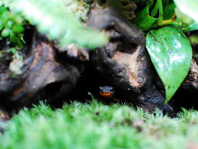 巣穴からこちらを覗くイモリ