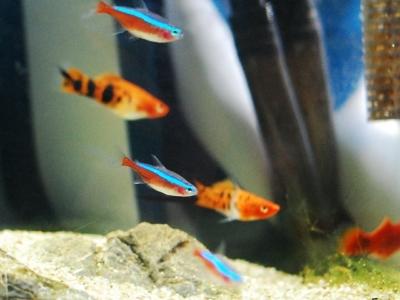 カージナルテトラと熱帯魚たち