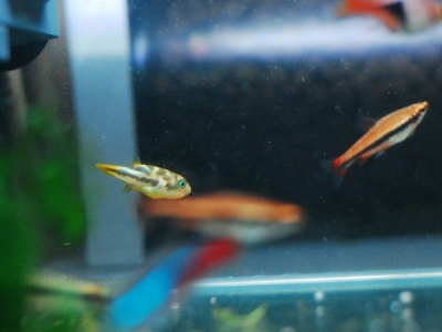 アベニーパファーと熱帯魚たち