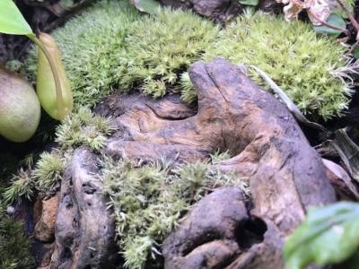 乾燥気味のアラハシラガゴケ