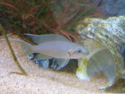 ネオランプロローグス・ブリチャージと巻き貝