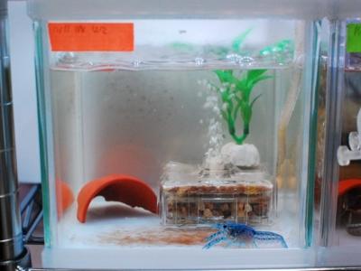 ザリガニ(フロリダハマー)の水槽(15cm水槽)