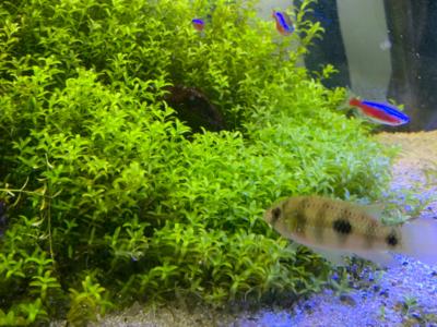 45cm石組水草レイアウト、右側密度の高いニューパールグラス