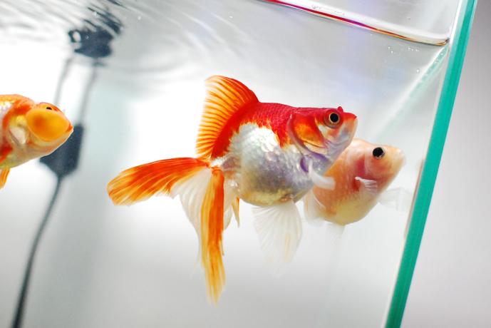 水面を見上げる金魚たち