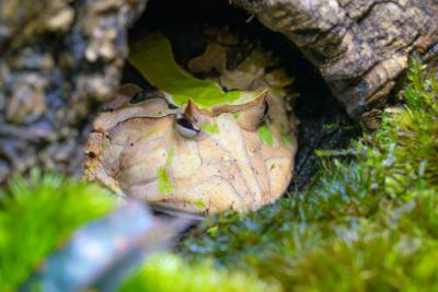 巣穴のアマゾンツノガエル
