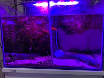 テトラパワーLEDプレミアム、青と赤のみ点灯