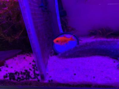 テトラパワーLEDプレミアムの赤・青モードで照らされる金魚