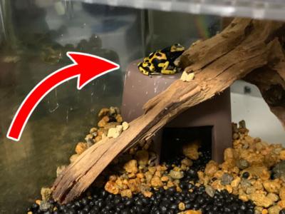 シェルターの上にいるキオビヤドクガエルの排泄