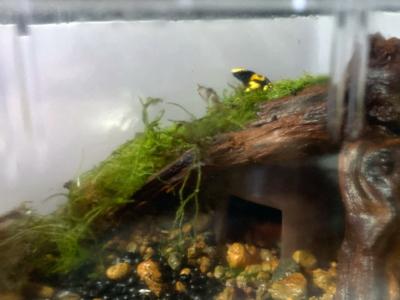 コケの上にいるキオビヤドクガエル