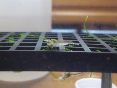 ヤマトヌマエビの稚エビがエサを食べている様子