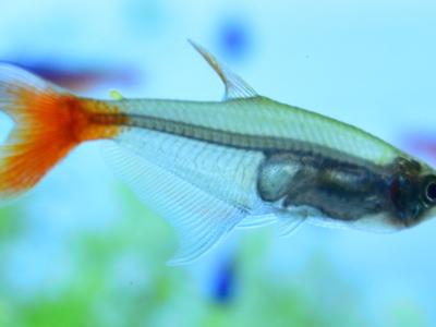グラスブラッドフィンの透明感ある身体