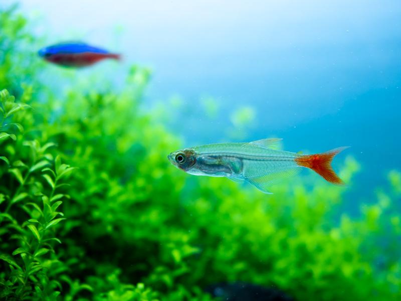 水草とグラスブラッドフィン