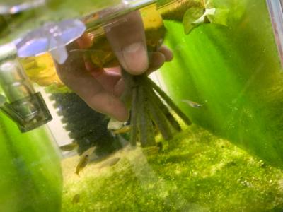 オリジアス・ウォウォラエの繁殖水槽