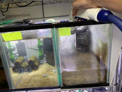 ザリガニ水槽に水を注水している様子、その3