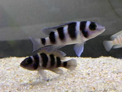 若魚のネオランプロローグス・トレトケファルス