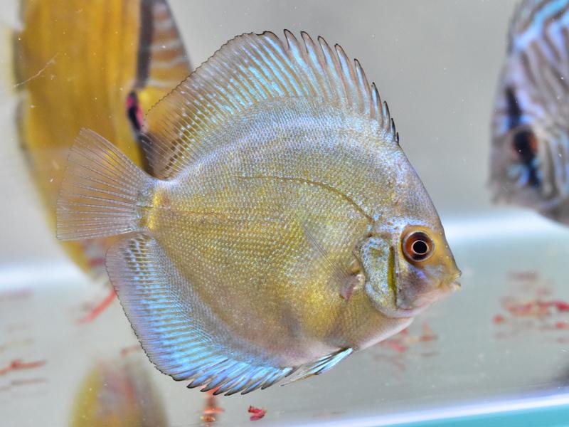 ブルーベリーディスカスの幼魚