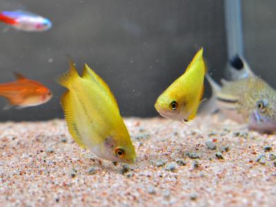 水槽底のエサを食べるゴールデンハニードワーフグラミー