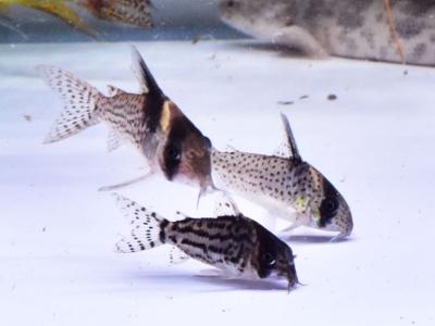 コリドラスのシュワルツィ、カネイ、ブレビロストリスと泳いでいる様子