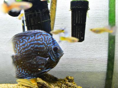 一般的な熱帯魚水槽に入れられたディスカス
